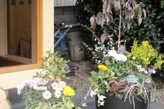 日本料理店の入口の「寄せ植え」です。珍しい常緑の「ガビサンヤマボウシ」の銅葉の主木が、落ち着いた雰囲気を醸し出しています。 �2732-3.jpg 和菓子店さま ヒューガミズキ(黄)とレースラベンダー(紫)が調和した「寄せ植え」で、かわいいピンクのデージーが、ポイントです。