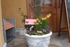 ティタティータという小さい水仙が鮮やかに咲いています。